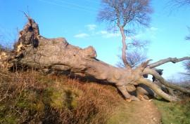Fallen tree, Ridegeway, 15.01.12